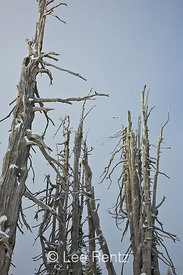 Skeletons of dead Whitebark Pines (Pinus albicaulis) on Hurricane Ridge, Olympic National Park, Olympic Peninsula, Washington...