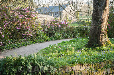Path between Rhododendron 'Endsleigh Pink' and naturalized snakeshead fritillaries, Fritillaria meleagris, leading towards th...