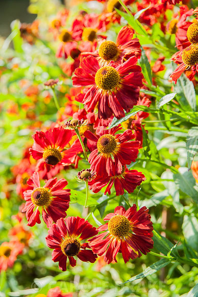 Helenium 'Bruno' in the herbaceous border. Forde Abbey, nr Chard, Dorset, UK