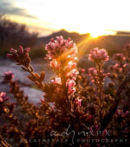 Fynbos flowers close-up at Sunset