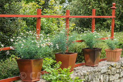 Square pots of white flowered Argyranthemum foeniculaceum placed along a wall. The Shute, nr Ventnor, Isle of Wight, UK