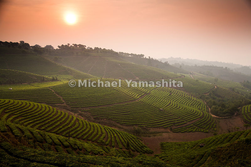 Terraces of tea unfold along the hillside of the largest tea plantation in Xishuangbanna, Yunnan Province, the number one pro...
