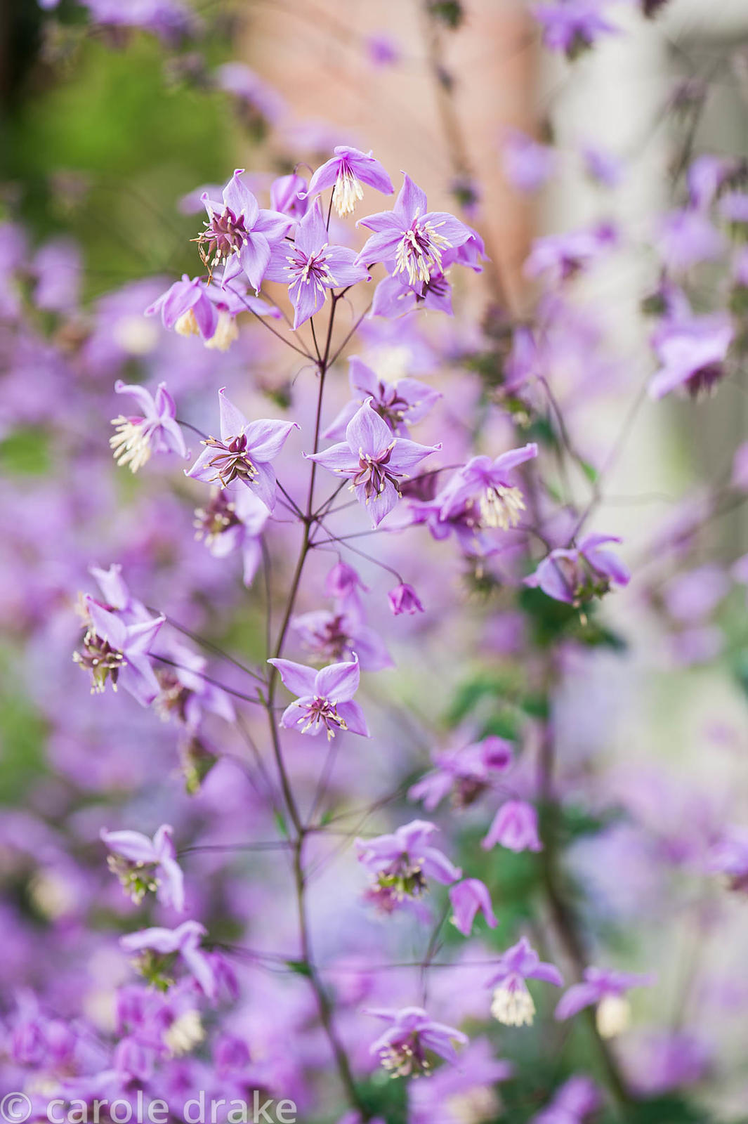 Airy thalictrum flowers. Bosvigo, Truro, Cornwall, UK