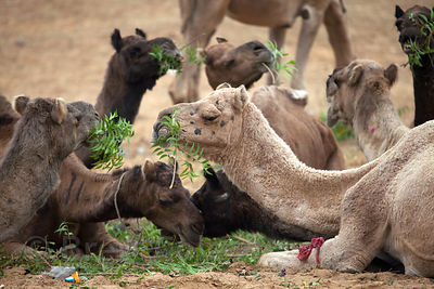 Camels eating acacia leaves at the 2010 camel fair in Pushkar, Rajasthan, India
