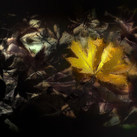 """Acer Platanoïdes Charles Joly"" - Automn Leaves -1"