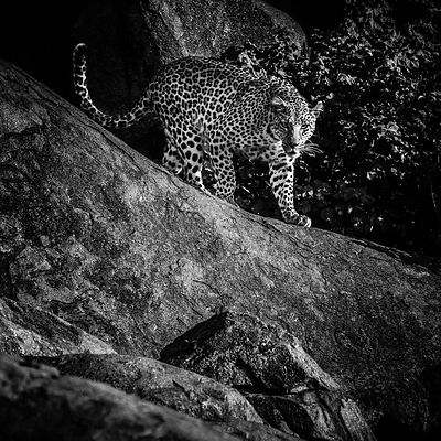 01842-Leopard_Laurent_Baheux