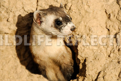ferret_in_burrow