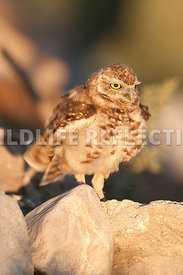 burrowing_owl_fluff_2