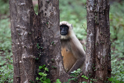 Langur monkey (Semnopithecus sp.), Ranthambore National Park, Rajasthan, India