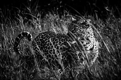 02376-Leopard_in_the_grass_Laurent_Baheux