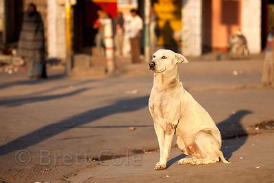 Proud looking dog soaking up the first rays on sun in Jodhpur, Rajasthan, India