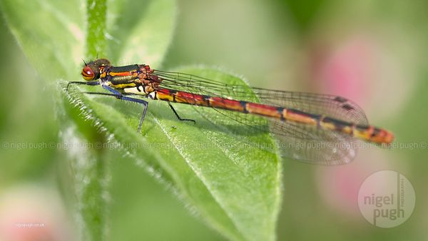 Female Large Red Damselfly: