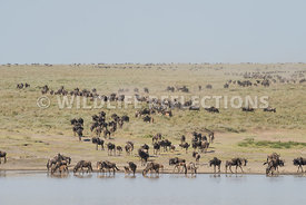 wildebeest_lake_crossing_sequence_02242015-62