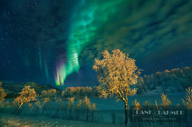 Polar light / Aurora Borealis and birch on Senja - Europe, Norway, Troms, Senja, Stoennesbotn - digital