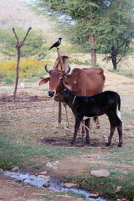 Cows on a farm in Kharekhari village, Rajasthan, India