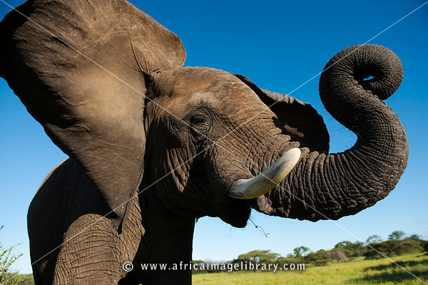 African elephant ( Loxodonta africana africana), Kapama Game Reserve, Greater Kruger National Park, South Africa