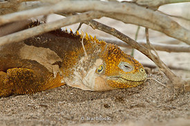A land iguana found on the island of North Seymour in the Galapagos.