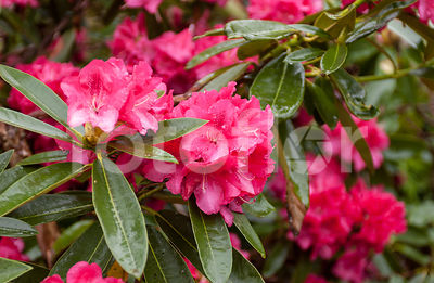 Rhododendron rose