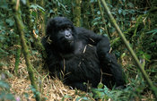 Mountain Gorilla in bamboo forest, Gorilla gorilla berengei, Virunga Mountains, Volcanoes National Park, Rwanda