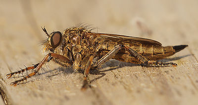 Asilidae species at Knokke