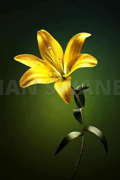 Yellow lilly with stem