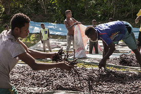 "Workers spread ""red vanilla"" (vanilla which has been treated by a special cooking) in the sun to be dried on May 25, 2016 in ..."
