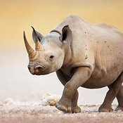 Black Rhinoceros walking on dry salt pan