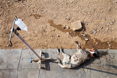 A stray dog with a severe maggot head wound undergoes treatment at an animal hospital in Jaisalmer, India