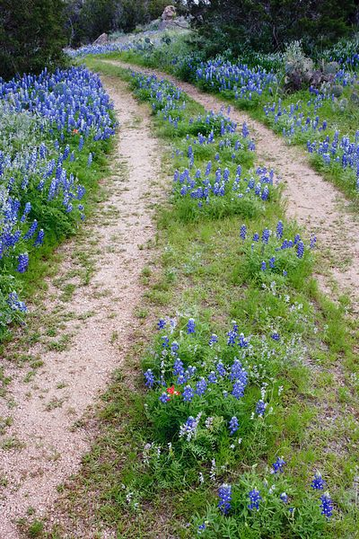 Road Through the Bluebonnets #3