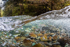 Male Pink Salmon on Spawning Grounds in the Dungeness River in Olympic National Forest
