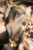 Mona monkeys, Cercopithecus (m) lowei, are considered sacred by villagers. Baobeng-Fiema Monkey Sanctuary, Ghana