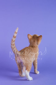 Orange Tabby Kitten Looking Backward at Purple Background