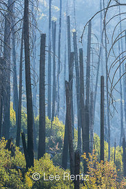 Charred Trees from a Forest Fire in Approach to The Enchantments