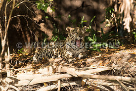 jaguar_forest_lighting-15
