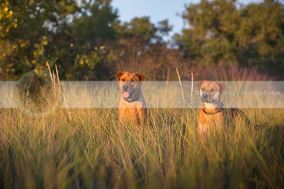 two mixed breed tan dogs hiding together in deep grasses