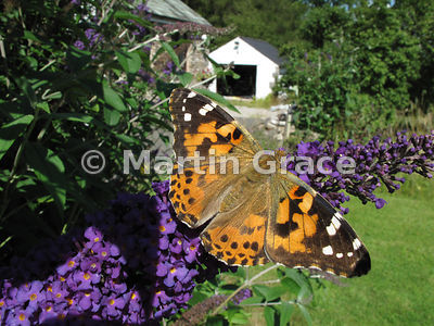 Painted Lady butterfly (Vanessa cardui) ) on a garden Buddleia (Buddleja) davidii, Cumbria, England