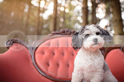 grey and white groomed dog on antique pink settee in forest
