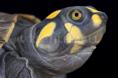 Yellow-spotted river turtle (Podocnemis unifiles)