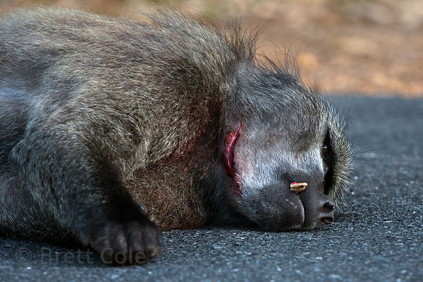 Alpha male chacma baboon from the Plateau Road troop rests in the road, with a superficial face wound from a fight with anoth...