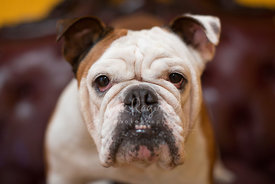 Close-up of Adult Brown and White Bulldog Face with Underbite