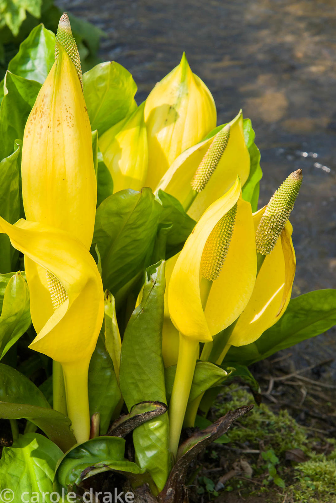 Lysichiton americanus. Marwood Hill Gardens, Barnstaple, Devon, UK