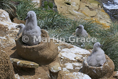 Black-Browed Albatross (Thalassarche melanophrys) chicks in their nests, The Rookery, Saunders Island