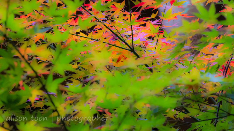 HR-JapaneseMaple-Fall-9841