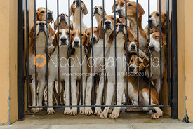 Belvoir Foxhounds