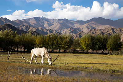A horse grazes along the Indus River near Stok Village and Chuchok Yakma, Ladakh, India
