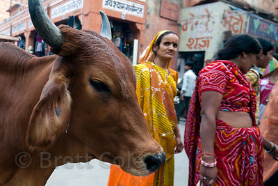 Cow and pedestrians in Jaipur, Rajasthan, India