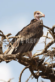 white_headed_vulture_treetop201102