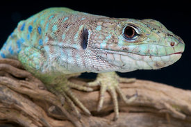 Spanish occelated lizard (Timon nevadensis)