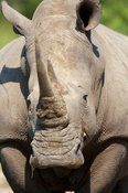 White rhinoceros (Ceratotherium simum), MalaMala Game Reserve, Greater Kruger National Park, South Africa