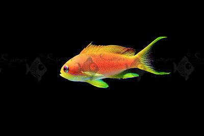 Saltwater_Lyretail_anthias_(2)